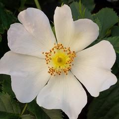 I colori della primavera (Luciana.Luciana) Tags: flowers primavera spring colours rosa fiori colori bianco printemps frhling   selvatica