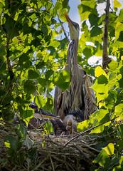 Three chicks with mom in the second nest (mark3210) Tags: bird heron nest handheld birdnest greatblueheron cherrycreekstatepark heronchick