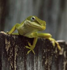 Green Anole (ACEZandEIGHTZ) Tags: lizard green anole nikon d3200 nature closeup macro fence anoliscarolinenis tinyworlds reptile ngc npc frameit coth coth5 saariysqualitypictures allnaturesparadise asts beautiesbeasts