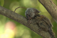 Spankys First Week at Home (Todd Money) Tags: monkey marmoset spanky pet exotic animal
