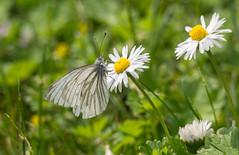 Baumweißling (Teelicht) Tags: flower butterfly germany garden insect deutschland daisy blume insekt garten braunschweig blackveinedwhite schmetterling bellis gänseblümchen niedersachsen lowersaxony aporiacrataegi baumweisling