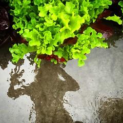 Through the rain glass (shannonkringen) Tags: plants reflection wet rain sillouette selfie