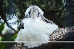 Kookaburra - Lone Pine Koala Sanctuary (Naomi Rahim (thanks for 2 million hits)) Tags: brisbane queensland qld australia 2016 kookaburra bird animal wildlife portrait sleeping tired lonepinekoalasanctuary travel travelphotography nikon nikond7000 wanderlust tree outdoors nature