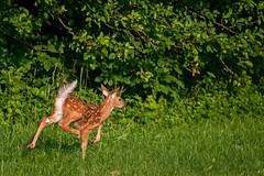 FawnFlag (jmishefske) Tags: park june wisconsin nikon wildlife deer fawn milwaukee whitetail 2016 whitnall halescorners d800e