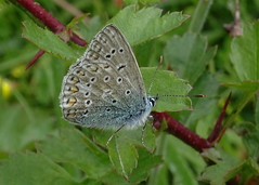 Adonis Blue butterfly (closed wing) (stourton) Tags: down dorset ballard swanage