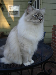 Whatz That? Blue Lynx Mitted Ragdoll Cat (floppycats) Tags: blue cats playing game cute cat funny kitty going 101 ann lynx ragdoll trigg viewed purebred mitted blue young pretty eyes  cat most baker cat fluffy kitte