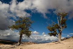 Sentinels (Tati@) Tags: travel trees tree nature clouds landscape utah brycecanyon junipers bestcapturesaoi elitegalleryaoi mygearandme mygearandmepremium mygearandmebronze mygearandmesilver