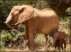 Elephants (MurrayH77) Tags: elephant kenya wildlife safari