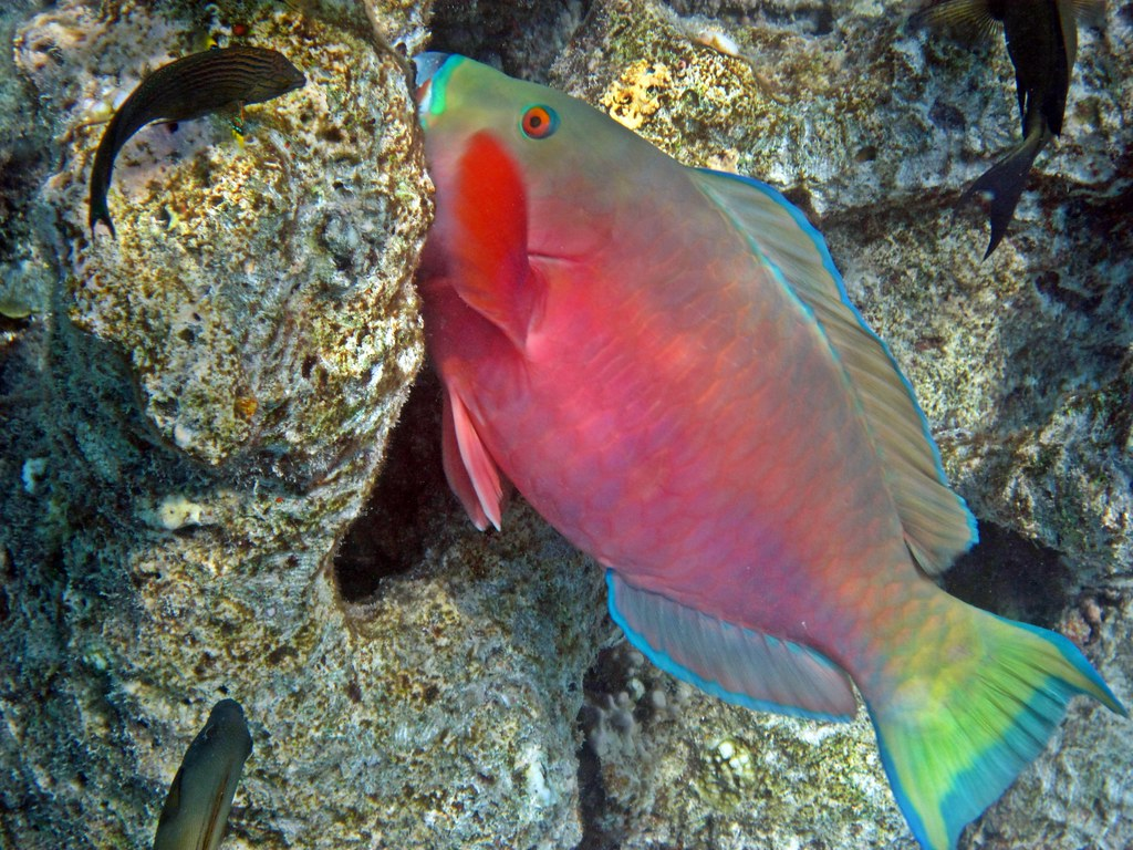 The World\'s Best Photos of parrotfish and tropicalfish - Flickr Hive ...