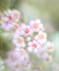 ...Whisper... (lclower19) Tags: pink flowers white texture nikon soft whisper kim magenta multipleexposure klassen tamron 90mm impressionistic d90 beyondlayers