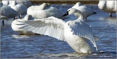 "Tundra Swan (20120311-1298) (Earl Reinink) Tags: travel ontario canada bird art nature birds photography landscapes swan nikon flickr canadian niagara earl bathing waterfowl bif ""lake ""bird ""nikon ""niagara photography"" ""birds ""bathing ""nature ontario"" ""landscape ""fine ""earl peninsula"" flight"" swan"" lenses"" ""travel erie"" d3"" ""tundra d3s"" reinink"""