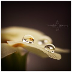 Primrose (Samantha Nicol Art Photography) Tags: plant flower macro nature water yellow reflections dark square dof bokeh droplet primrose