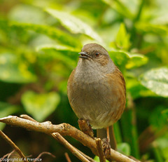 Dunnock (Alistair Prentice.) Tags: county ireland wild irish bird nature birds fauna garden photo flora pentax wildlife small selb dunnock 150 observatory bbc co times 500 prentice northern birder armagh kx portadown rspb