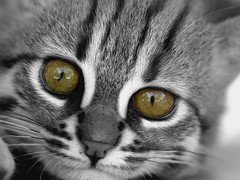 Regard du chat rubigineux (home77_Pascale) Tags: animal chat bb regard flin bestofcats parcdesflins nesles chatrubigineux mygearandme