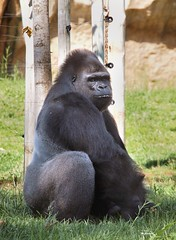 Dsc_00256 (Miguel Tavares Cardoso) Tags: portugal zoo gorilla lisboa jardim zoológico gorila jardimzoológico flickraward vividstriking migueltavarescardoso