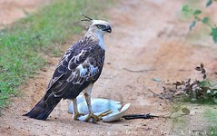 Crested Hawk-eagle with Cattle Egret kill (Sara-D) Tags: nature birds animals forest asia wildlife aves sl sri lanka raptor srilanka ceylon lk crested yala wildanimals southasia sarad accipitridae changeable changeablehawkeagle crestedhawkeagle cirrhatus asianwildlife saranga hawkeagle birdsofsrilanka nisaetus nisaetuscirrhatus sarangadevadealwis birdsofsouthasia sarangadeva
