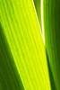 Photosynthesis (Tim Caldbeck) Tags: camera uk light white abstract flower color colour macro london nature photoshop sunrise 350d leaf image flash flickrcentral conceptual southampton astounding 600d creativeimagination supershot addictedtoflickr flickrsbest strobist 450d 400d mywinners abigfave platinumphoto colorphotoaward ultimateshot superbmasterpiece macrophotosnolimits thatsclassy artlegacy astoundingimage goldstaraward macroflowerlovers damniwishidtakenthat rockmymacroworld