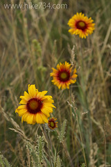 "Gaillardia • <a style=""font-size:0.8em;"" href=""http://www.flickr.com/photos/63501323@N07/6866626587/"" target=""_blank"">View on Flickr</a>"