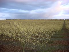3249 filbert pollen january (growing hazelnuts) Tags: filbert orchards