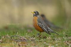 Tough times don't last but tough people do. (southernhobbyist) Tags: red wild bird nature birds animal wildlife american americanrobinturdusmigratorius