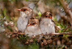 Three Fairy Wren Chicks (Barbiejay2) Tags: nature birds babies fairy wetlands wrens barb leopold laratinga abcopen:project=upclose