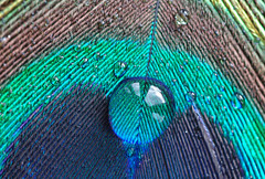 Around Me, My People (Hugobian) Tags: macro art water droplets drops feathers feather peacock drop droplet