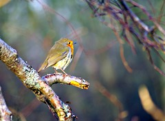 Robin at Loch of the Lowes. (eric robb niven) Tags: winter robin scotland loch dunkeld lowes mygearandme