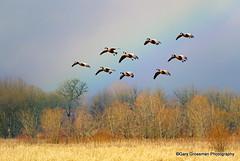 Rainbow Light [Explore] (Gary Grossman) Tags: nature landscape geese washington rainbow soft northwest wildlife explore wetlands pacificnorthwest canadageese softlight naturephotography ridgefield rainbowlight garygrossman garygrossmanphotography mygearandme mygearandmepremium mygearandmebronze ruby10