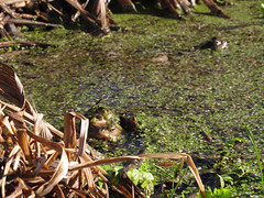Early Warmth (duckinwales (now in Ipernity)) Tags: spring amphibians embrace rhyl hold duckweed bufobufo ranatemporaria commontoad commonfrog canong12