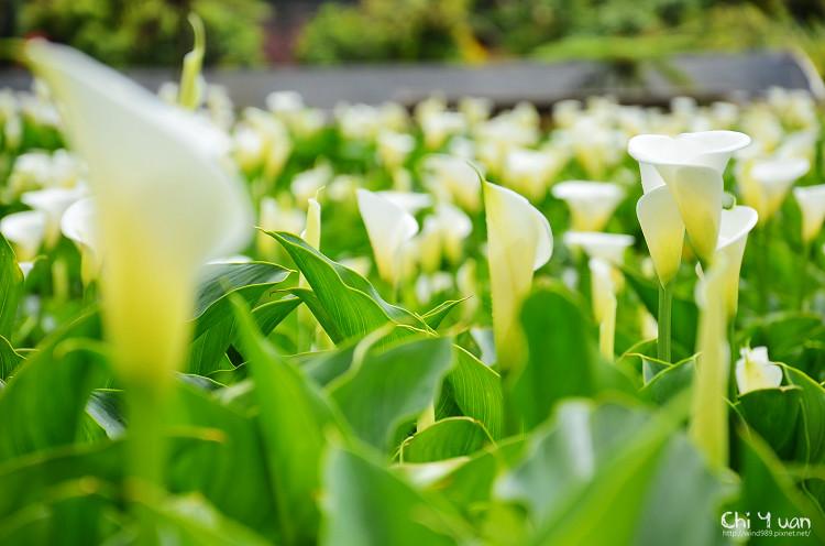2012竹子湖海芋季11.jpg