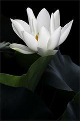 Lotus Flower - IMG_3643-800 (Bahman Farzad) Tags: flower yoga petals peace lotus relaxing peaceful meditation therapy lotusflower lotuspetals mimamorflowers