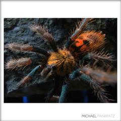 Chromatopelma cyaneopubescens 2.5-inch juvie, wide-angle (_papilio) Tags: macro spider nikon arachnid wideangle tarantula nikkor invertebrate gbb papilio arthropod theraphosidae pk11a greenbottleblue specinsect chromatopelmacyaneopubescens chromatopelma cyaneopubescens 1855mmf3556gvr d7000 blinkagain