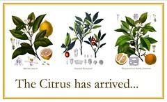 Citrus Arrived (The Greenery Nursery) Tags: orange tree tangerine lemon mandarin citrus lime