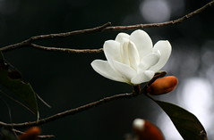 Champ (Monsoon Lover) Tags: india flower nature forest whiteflower flickr magnolia darjeeling champ nepali kalimpong exoticflower doltsopa sudipguharay micheliachampaka flowerromtheforest champandchampaaredifferentflower everymicheliaisnotfragrant nowthisisamagnoliathisnameisaccepted nowmicheliaisnotaccepted magnoliadoltsopabuchhamexdcfiglar2000 synonymmicheliadoltsopabuchhamexdc1818 magnoliaceae magnolia
