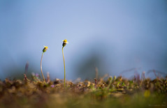 Wild flowers (Rhivu_Ray) Tags: life flowers india art love nature beautiful beauty yellow canon eos spring asia wind wildlife angels 7d wildflowers lovely breeze cheering littleones febraury springbreeze eos7d canoneos7d canonefs55250mmf456is rhivu hijliforest rhitamvarrayphotgraphy