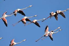 DSC_6062 (Ferraris Clemente) Tags: sardegna uccelli pinkflamingo cannigione fenicotteri stagno costasmeralda fenicotterirosa lapunga