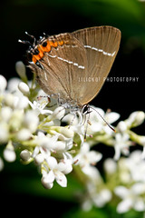 Eating butterfly (Elle***) Tags: light italy flower macro verde green leaves animal foglie canon butterfly insect wings bush italian focus poetry italia dof purple bright bokeh quote air details softness wing naturallight line ali papillon ala poesia dettagli fiore viola animale luce farfalla insetto giardino verso italiano wildanimals johnkeats 10028 wildness buddleja luminosa cespuglio citazione lucenaturale pastelcolours coloripastello leshirondellesphotography buddlejadavidiinanhoblue
