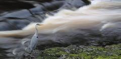 Still Heron (shotlandka) Tags: canon scotland edinburgh waterofleith canoneos500d шотландия эдинбург