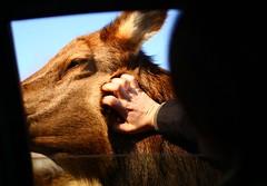 Elk Scritches (Martin Cathrae) Tags: canada window hand quebec krista elk parcomega montebello scritches