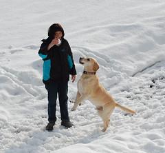 Bandit & Jette in Inzell (Gnter Hentschel) Tags: schnee dog labrador yellowlab hund labs bandit jette labby brownlab