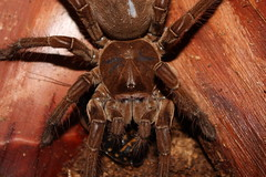 "0.1 Theraphosa stirmi • <a style=""font-size:0.8em;"" href=""http://www.flickr.com/photos/77637771@N06/6976387543/"" target=""_blank"">View on Flickr</a>"