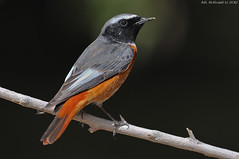 Redstart -  (arfromqatar) Tags: qatar birdsofqatar arfromqatar abdulrahmanalkhulaifi