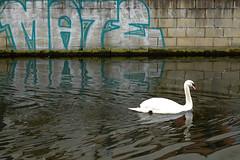 urban swan (only alice) Tags: blue winter water wall graffiti march scotland canal spring swan edinburgh paint walk mate unioncanal