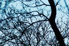 Thrush (basswulf) Tags: uk england bird lenstagged branches gimp devon 70300mmf456g ornithology 32 thrush braunton digitaldarkroom d40 rspbreserve 201203 2400x1600 permissions:licence=c image:ratio=32 chapelwoods 20120313