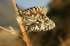 Zerynthia rumina (alcedofoto.) Tags: taxonomy:binomial=zerynthiarumina wwwnkisinfoflickr0066z19387 wwwnkisinfoflickr0066z19386