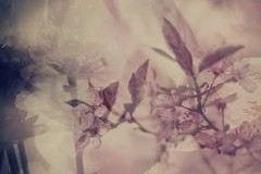 In My Dream (Bella Harris) Tags: pink flowers light collage garden petals focus soft pretty pastel magic dreamy magical ditial