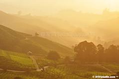 Golden Morning (2121studio) Tags: nature nikon ali malaysia indah cameronhighlands kuantan alam malaysianphotographer drali bohtea sgpalasteaplantation 2121studio kuantanphotographer pahangphotographer ciptaanallahswt 0139342121 nubleebinshamsubahar