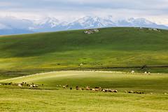 Xinjiang:kalajun grassland (woOoly) Tags: china flowers spring xinjiang prairie  kazakh ili yili sinkiang  alpinegrassland 5dmarkii   kalajungrassland yilikazakh ilichina tekesi gettychinaq2 kalajunprairie