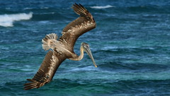 Pelikan 1490 (fotoflick65) Tags: pelikan karibik caribbean mayreau iso400 f8 pelican animal bird vogel st800 st5001000 fotoflick65 d3100 y2012 55200mmf456gvr ni55200 ym02 169 fliegender imflug inflight flying im flug fliegend