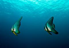 (gerb) Tags: ocean blue fish topv111 topv333 underwater scuba fisheye fins batfish tvp similanislands aquatica d7000 sigma1017fe